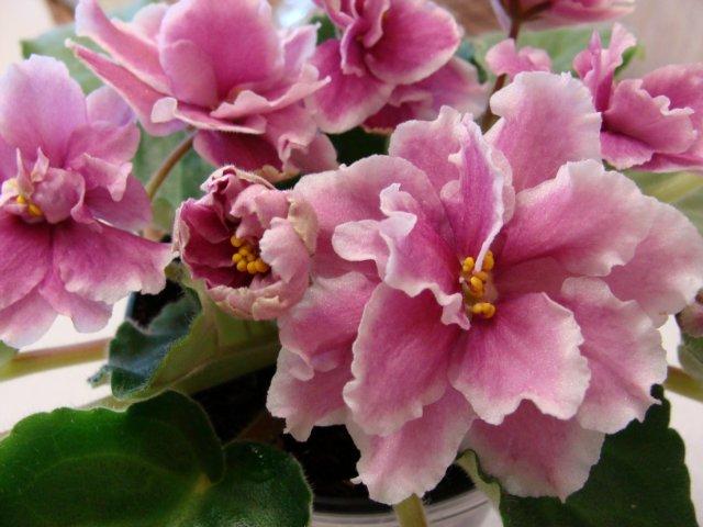Мои цветочки - Страница 19 7ae8f26db4e0