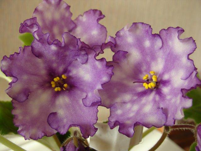 Мои цветочки - Страница 13 81c7f7f4e111