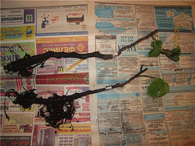 Растения из Сочинского питомника - Страница 2 E652273af846