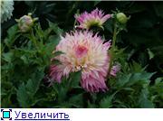 Георгины в цвету F9d35e383c7et