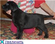 Шоколадные и черные щенки лабрадоров в  питомнике Луссо Анжело 2e4551ad29aet