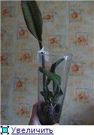 Странности и интересности наших орхидей B82766410d7et
