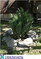 Хвойные растения и вересковые в садовом дизайне. 9604385c2425t