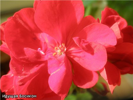 Цветочные красотки и красавцы Идущей Босиком - Страница 7 943fdecfad30