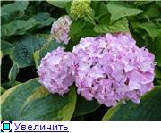 гортензии и виноград 55e313f45e1et