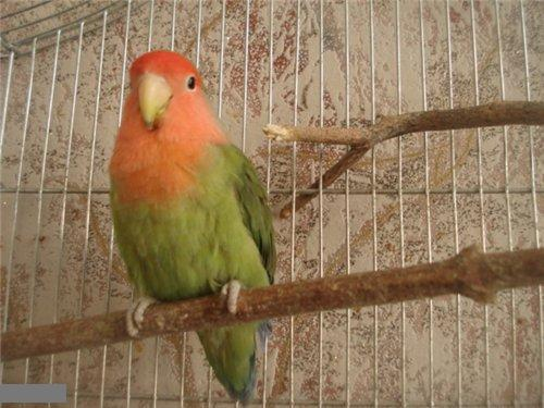 Наши попугайчики D0a0f368051b