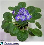Продам цветущие фиалки в Алматы 75f5f5908ffet