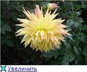 Георгины в цвету 83b1e0ede21ft