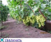 Виноград- секреты выращивания 074b9dc466a1t