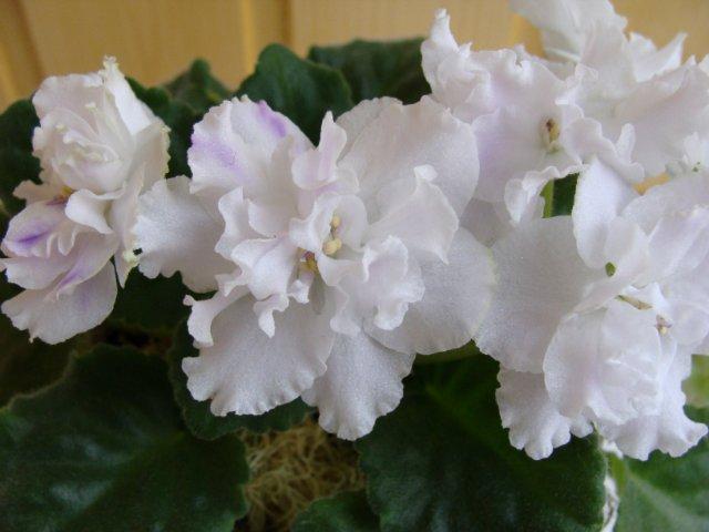 Мои цветочки 53a52f072270