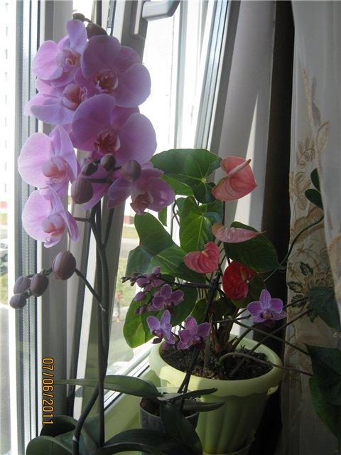 Разведение орхидей. - Страница 13 29a71bb37c43