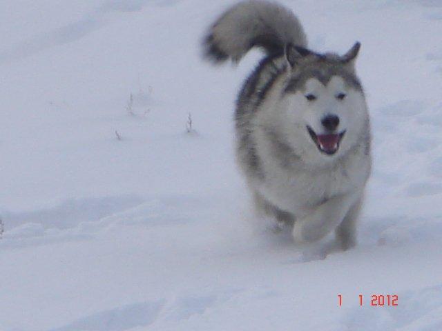 Аляскинские маламуты в Чите Eb0158fe649e