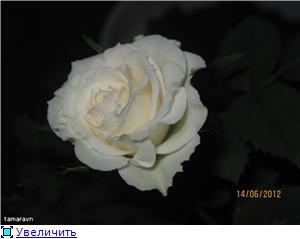 Розы в комнатной культуре - Страница 5 81edbc9c48fdt