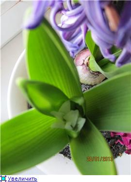 Выгонка луковичных. Тюльпаны, крокусы и др. - Страница 11 0f567738abe2t