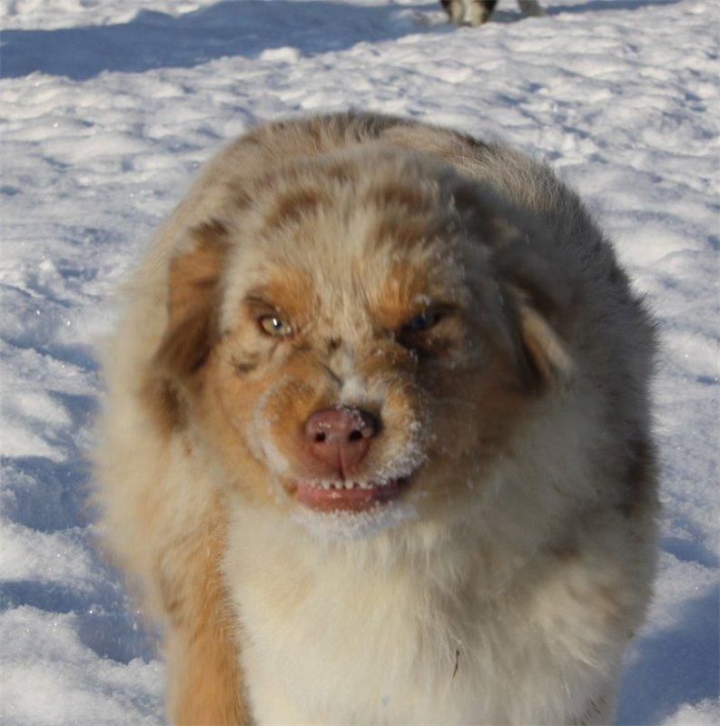 Аусси - собака улыбака=) 6e0553e093e4