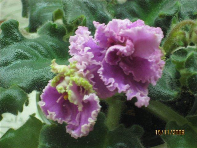 Rose Ruffles 68a5db9085f6