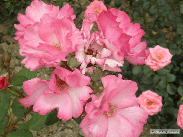 Крым. Никитский ботанический сад. - Страница 2 D07f4743a60e