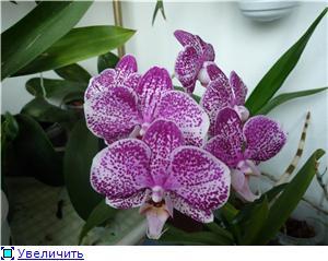 Фаленопсисы гибридные 6db023e6d818t