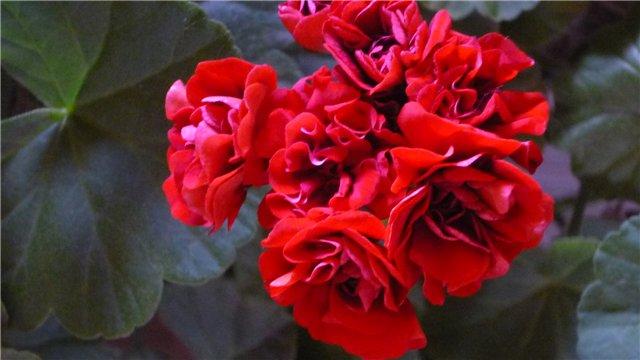 Мои любимые цветочки - Страница 39 Af7fcba30240