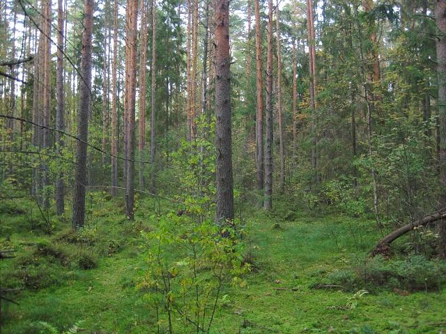За грибами в Конаково (Тверская область, Волга)! 1437fea174dd