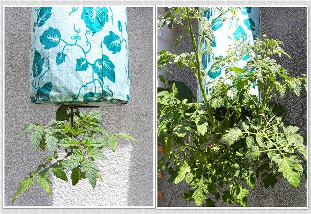 Технология выращивания помидоров (томатов) вниз головой 768726a397f3