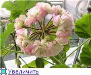 Наши пеларгонии!!! - Страница 3 449c213b26ddt