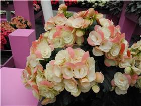 Рай тюльпанов или Кёкнхов - 2012 E54bdfe55ba3t