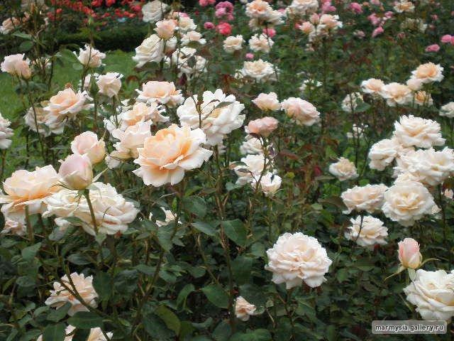 Крым. Никитский ботанический сад. - Страница 2 77590774fb2a