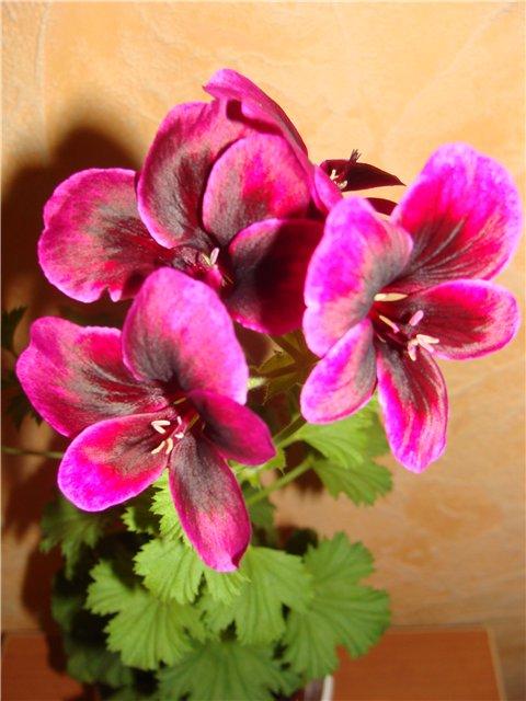 Весеннее  цветение (Хваст от Веры) - Страница 2 A6be3354ed89