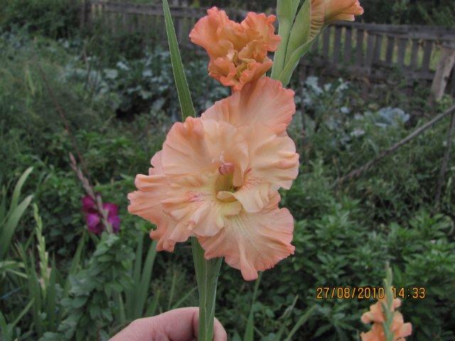Мои садовые - Страница 2 A8178e79f2f0