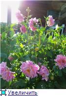 Георгины в цвету - Страница 2 F1f7517e5c7ct