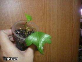 декоротивно-лиственные и красивоцветущие растения - Страница 3 E4844e27a8fd