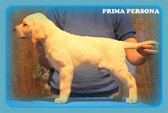 """Питомник """"Прима Персона"""". Мои собаки-моя жизнь! - Страница 2 6cf412cea71c"""