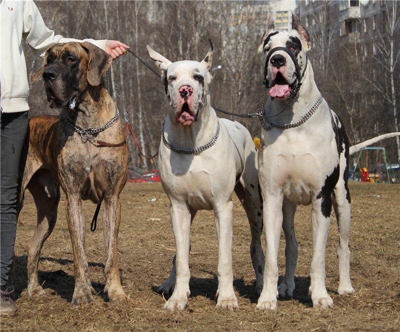 Мои доги. Антеус, Эдельвейс и Оникс Ла Гранж. D322d6f71518