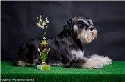 Цвергшнауцера щенки, окрас черный с серебром 8b7dd329bfb5t