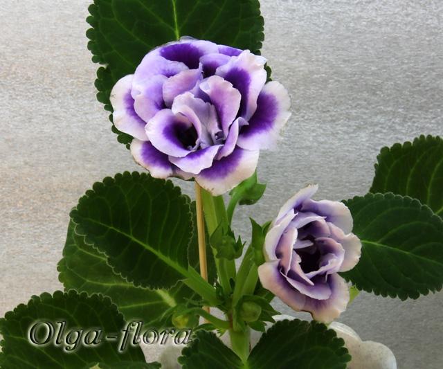 Burgundy Queen 3e258983e9b7