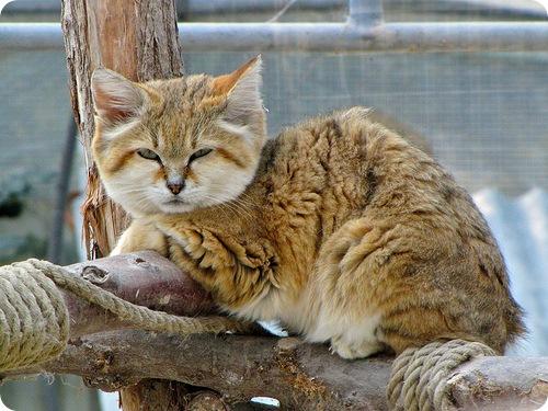 Необычные и редкие породы кошек и собак B6254ca0fc59