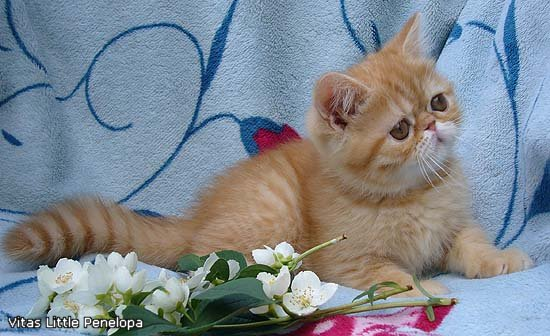 VITAS LITTLE - питомник персидских и экзотических кошек - Страница 4 Ebc2223687ec