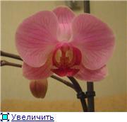 Фаленопсисы гибридные - Страница 2 5a9ea3378b09t