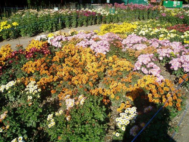 Парад хризантем в Никитском ботаническом саду. Крым  - Страница 2 0794700b9db3