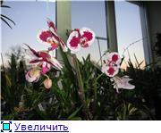 Фаленопсисы гибридные Eec9b4232e4et