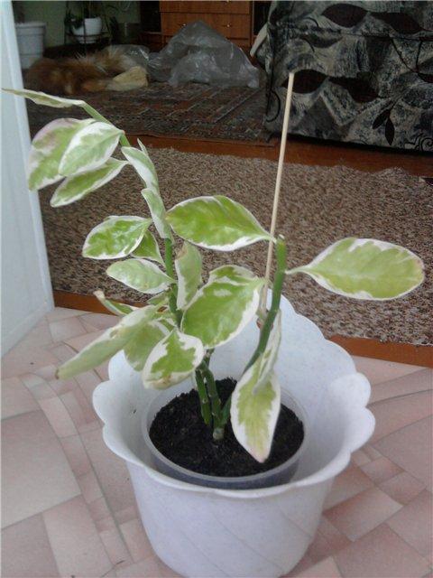 Педилантус (Pedilanthus) 2509cb1bdea6