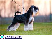 Цвергшнауцера щенки, окрас черный с серебром Aefc065d10fet