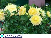 Георгины в цвету 242e6f5e25b2t