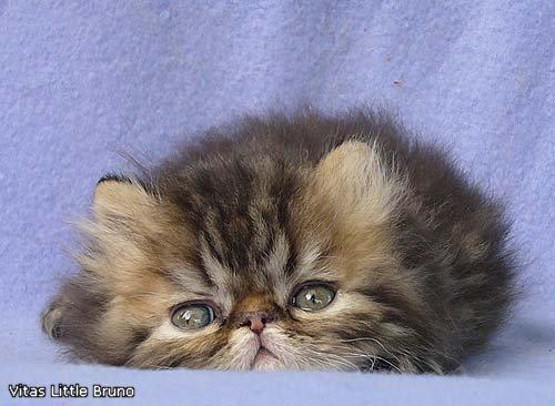 VITAS LITTLE - питомник персидских и экзотических кошек - Страница 4 34ad07f91ab1