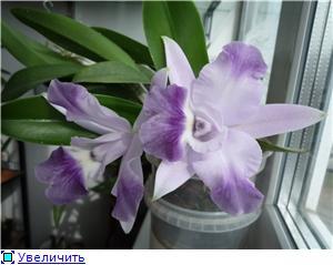 """Lc. Taka Blue или Lc. Cariad's Mini-Quinee """"Angel Kiss"""" 56ac24178f55t"""