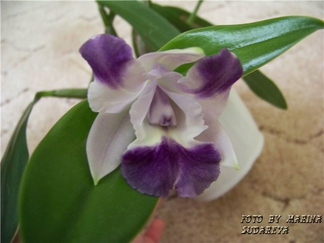 "Lc. Taka Blue или Lc. Cariad's Mini-Quinee ""Angel Kiss"" 6603aec52f14"