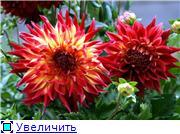 Георгины в цвету E8a763bb01fdt