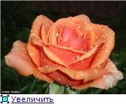 Розы 2011 9f517fc9e4cft
