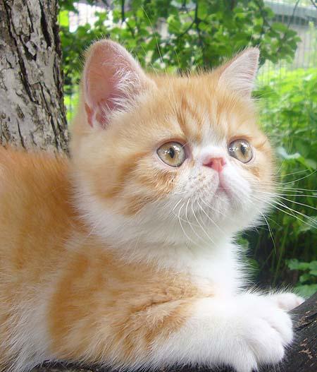 VITAS LITTLE - питомник персидских и экзотических кошек D5d4cd227541